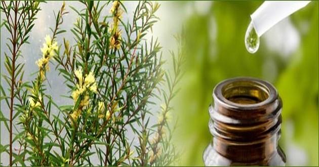 Tea tree oil, il futuro della terapia antibiotica?